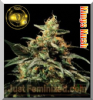 Greenhouse King's Kush Female 5 Marijuana Seeds
